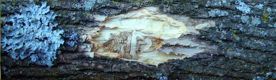 Emerald ash borer damage under bark of tree