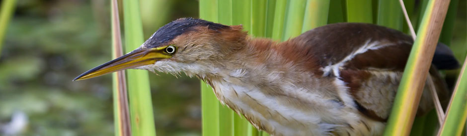 Least bittern in a marsh