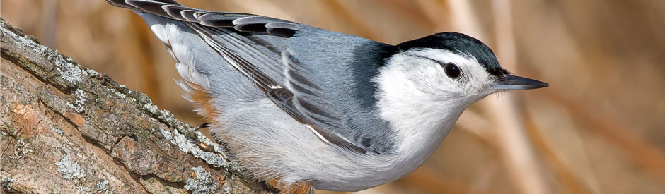 Whitebreasted nuthatch on branch